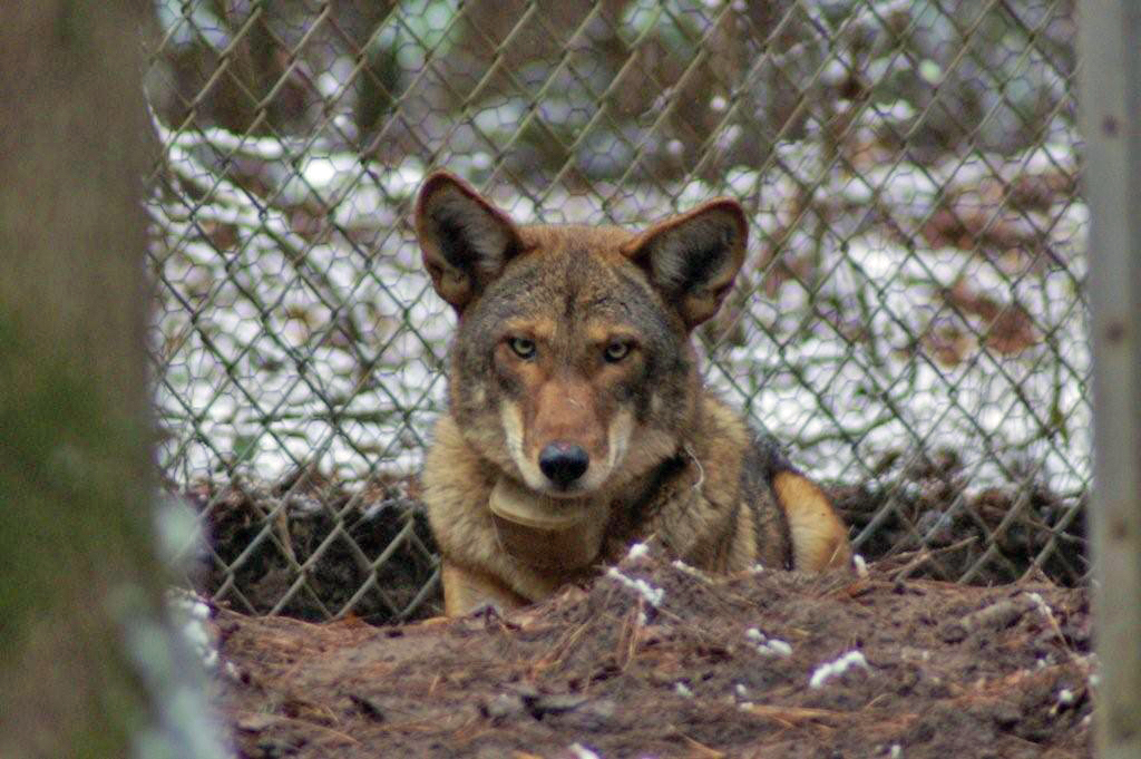 male_red_wolf_captive