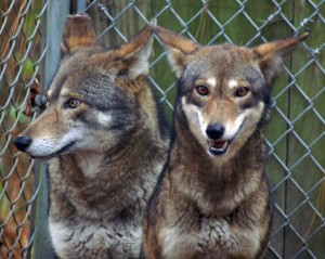 Hank and Betty, REC Resident Wolves